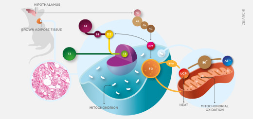 Local thyroid hormone activation plays critical metabolic role