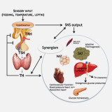 Thyroid hormone signaling in energy homeostasis and energy metabolism