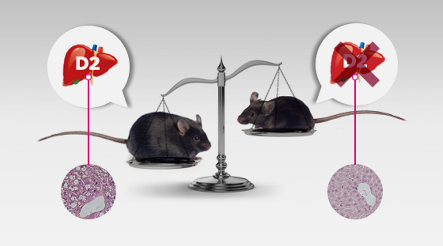 Future susceptibility to obesity is defined in the first day of life, by thyroid hormone