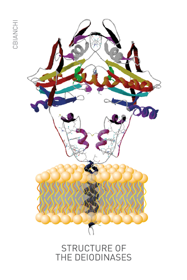 Structure of the Deiodinases