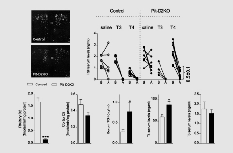 Coordination of hypothalamic and pituitary T3-production regulates TSH-expression